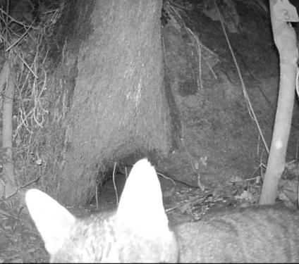 Cat predation of Gau petrels caught on camera