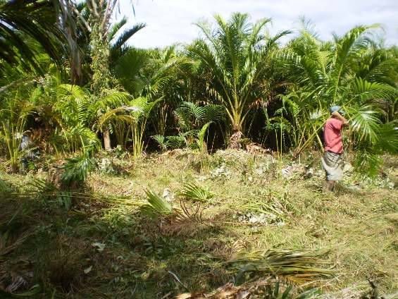 Conservation Action for the Endangered Navua Palm
