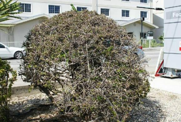 Bougainvillea bush defoliated by juvenile iguanas (note one exposed on top) in Georgetown, Grand Cayman