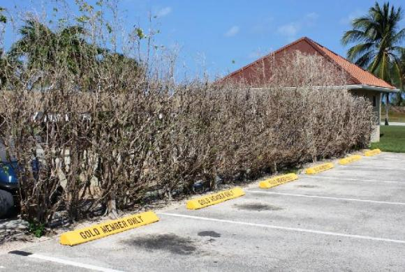 Ornamental Fig trees defoliated by iguanas – car park of prestigious club, Georgetown, Grand Cayman