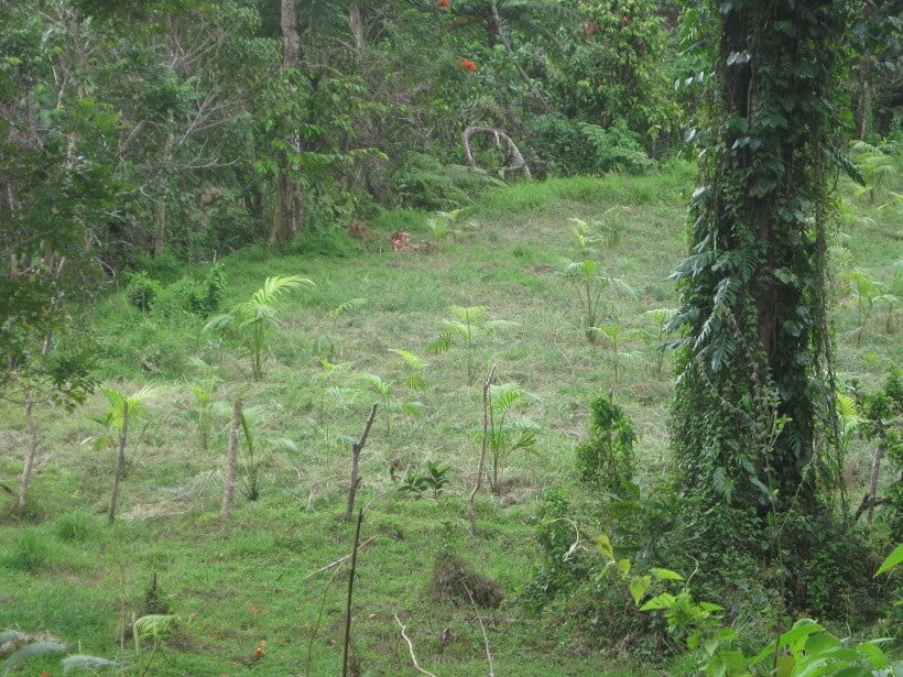 Fiji Sago Palm
