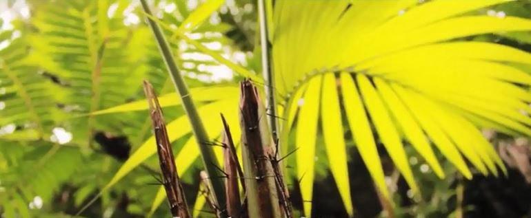 Fiji's Endemic Sago Palm with Nunia at Culanuku Village
