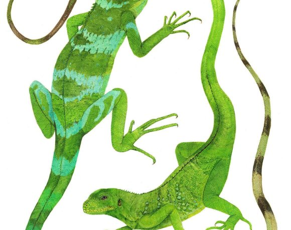 Illustration of Fijian iguanas.(Credit: Cindy Hitchcock, USGS Western Ecological Research Center. Public Domain)