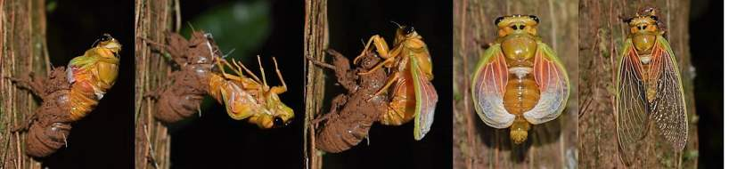 Watch the Emerging Fijian cicada (Nanai), once every 8 years!