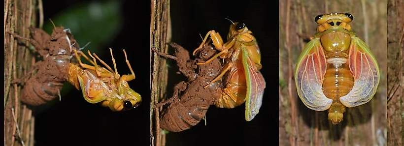 Watch the Emerging Fijian cicada (Nanai), once every 8 years!