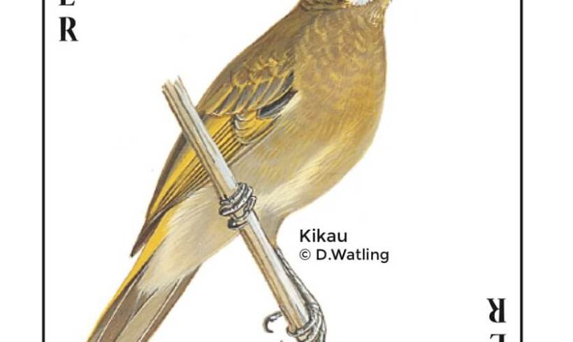 Birds in Fiji's Forests: Kikau