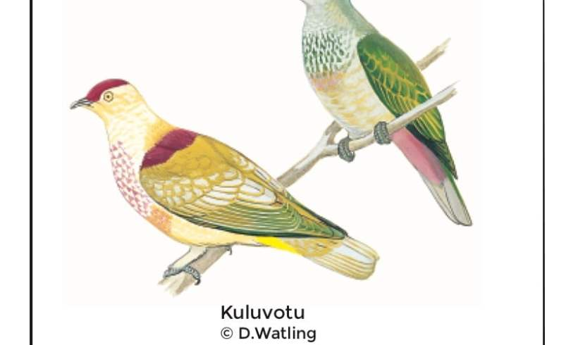 Birds in Fiji's Forests: Kuluvotu