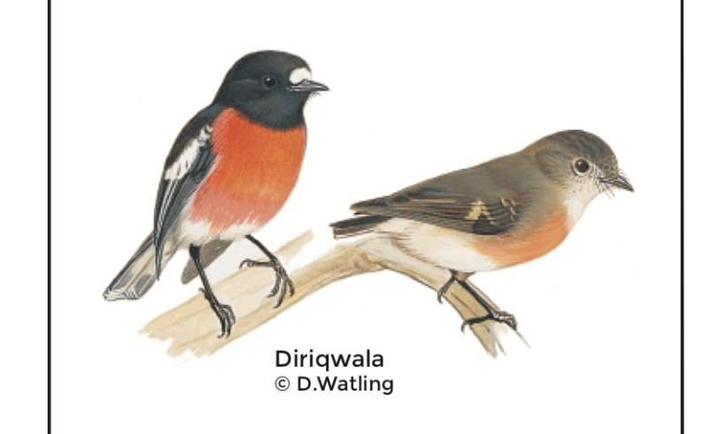 Birds in Fiji's Forests: Diriqwala