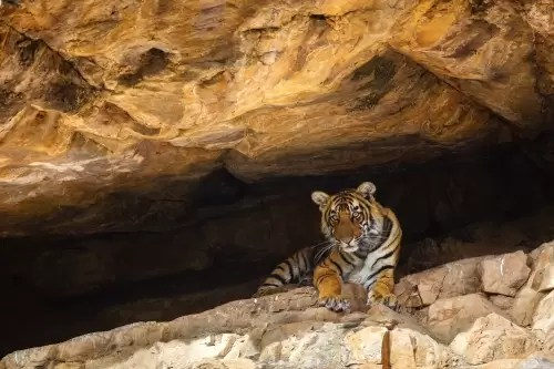 Bengal tiger cub in cave