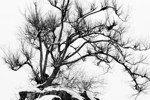 Japanese tree in winter