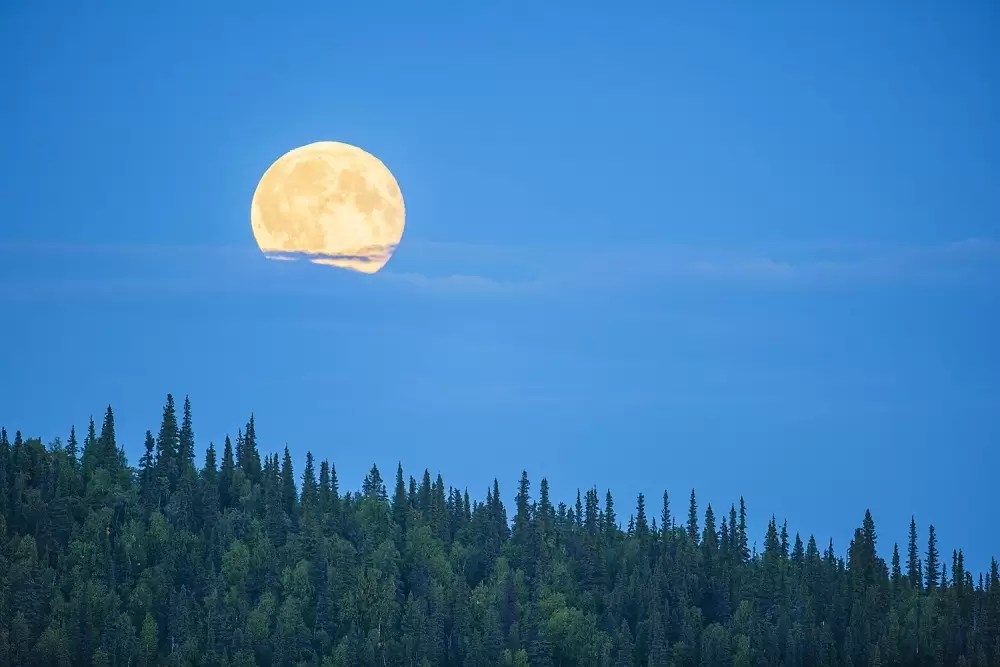 Full moon rising above spruce tree forest