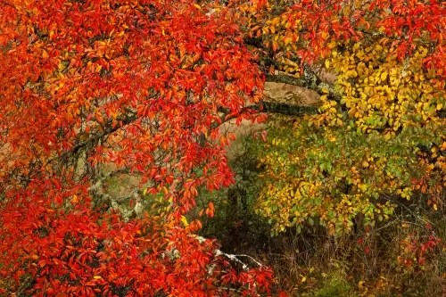 Tree in fall colors, north of South Island