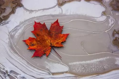 Maple leaf on frozen puddle