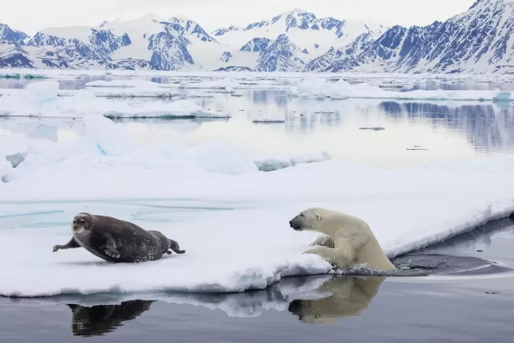 Svalbard, polar bear trying to catch bearded seal on pack ice