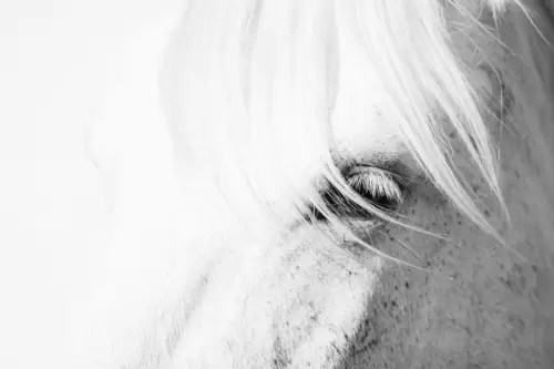 White Camargue horse, close-up of head, Camargue, France