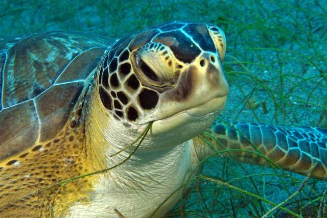 sea turtle eating seagrass