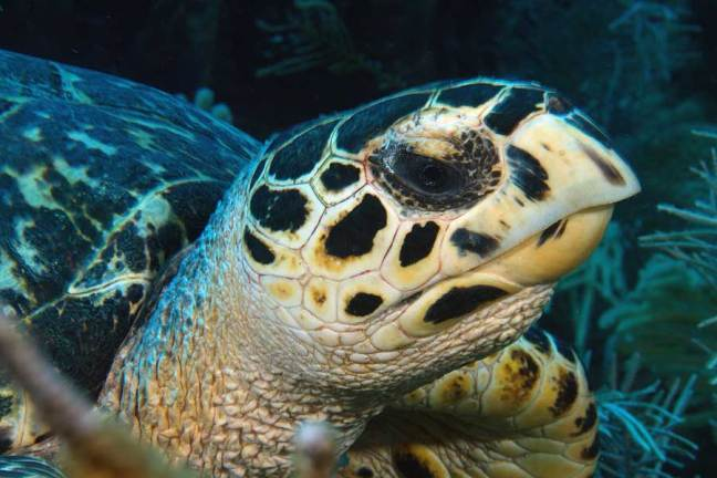 A close up of a hawksbill turles face