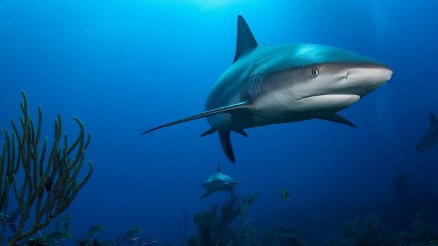 reef shark