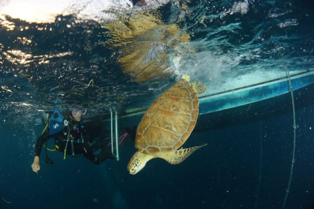 diver and sea turtle