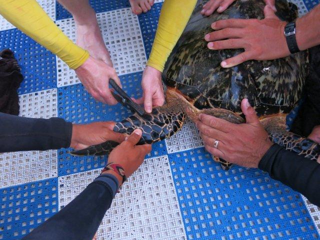 tagging a sea turtle