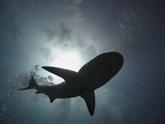 shadow of shark