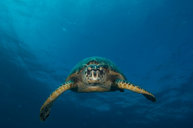 sea turtle looking at diver