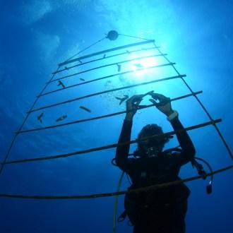 coral nursery ladder