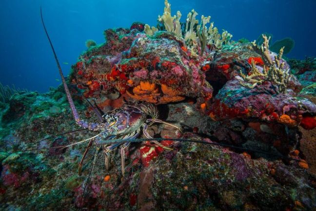 lobster on coral reef