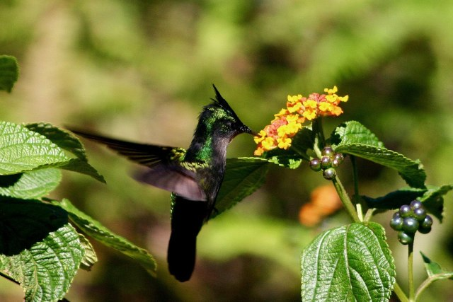 Antillean_crested_hummingbird