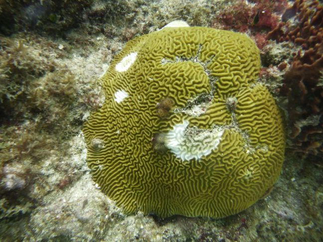 coral tissue loss disease