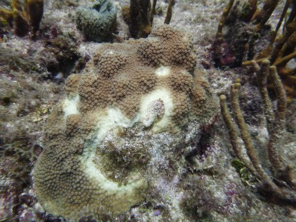 Stony Coral Tissue Loss Disease on Orbicella