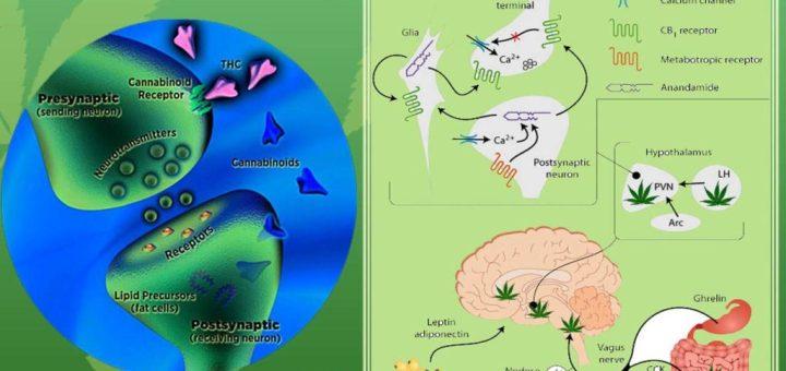 endocannabinoid-system