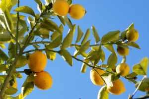 http://www.freeimages.com/photo/limones-1364599