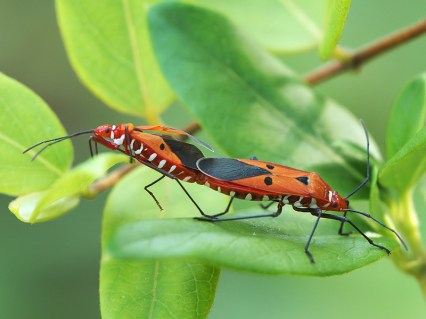 Mating Cotton Stainers by Allan
