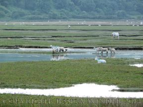 Saltmarsh Sheep at Whiteford (13) - Sheep standing in seawater of flooded saltmarsh channels on Landimore Marsh at spring tide, part of Whiteford National Nature Reserve, Gower, South Wales, June 2009.
