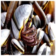 SEASHORE CREATURE 3 - Living Common Goose Barnacles, Lepas anatifera. You can find posts about barnacles and other SEASHORE CREATURES in Jessica's Nature Blog.