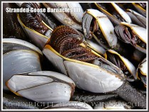 Goose barnacles out of water showing half-extended cirripede appendages.