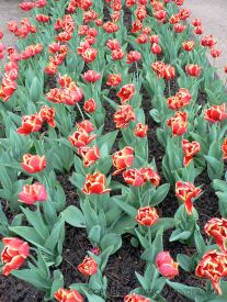 Yellow-edged red tulips in rows