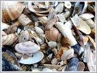 Common British seashells on the strandline