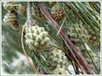 Fruit of the Beach casuarina or Coastal She-oak