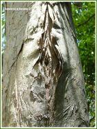 Close-up of peeling Paperbark tree trunk