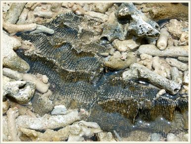 """Coral embedded in """"beach rock"""" or cay sandstone on Normanby Island."""