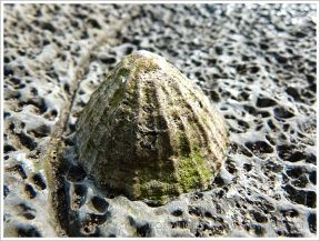 Old limpet living on a rock riddled with the burrows of marine worms