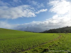 English countryside view of field with new growth of wheat