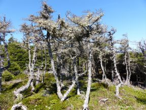 Conifers stunted by harsh weather along the Louisbourg Lighthouse Trail