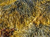 Assorted seaweeds growing on the rocks at Rousse Point