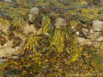 Seaweed growing on rocks at Rousse Point