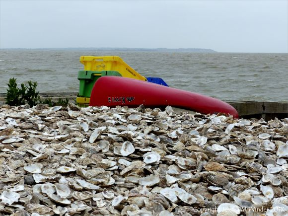 Oyster shells in a heap at Whitstable for use as cultch for collecting oyster spat