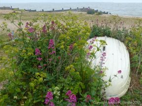 Wild flowers growing on a shingle beach by an unturned dinghy