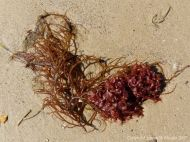 Red seaweeds washed ashore